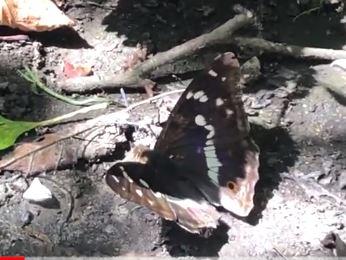 Purple Emperor Heartwood Forest video - 17 Jul 21