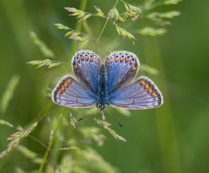 Common Blue Hillbrow 28 May 18