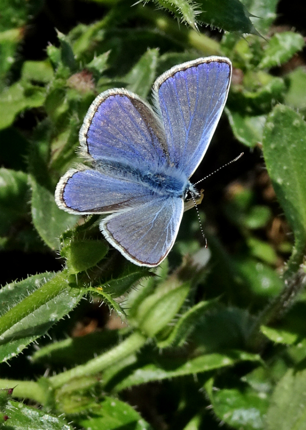 Common Blue Stanwell Moor 7 Oct