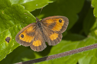Gatekeeper Southern Country Park 17 Jul