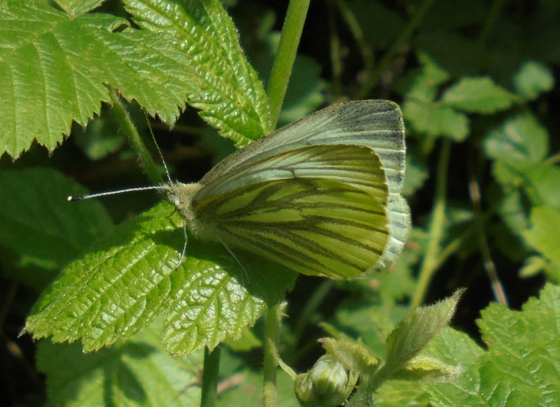 Green-veined White Ickleford 14 May 18
