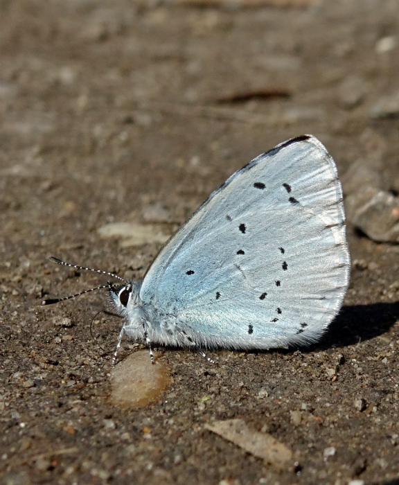 Holly Blue Stanwell Moor 18 Apr 18