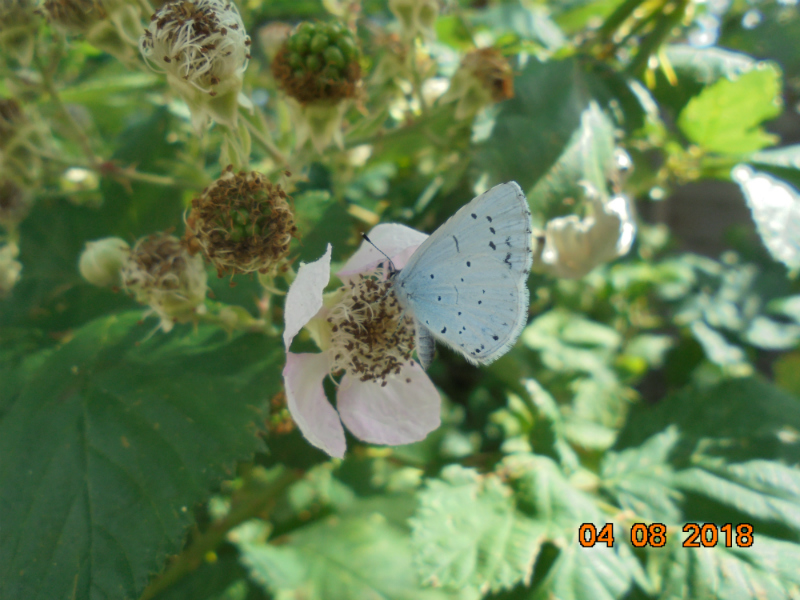 Holly Blue Hitchin 4 Aug
