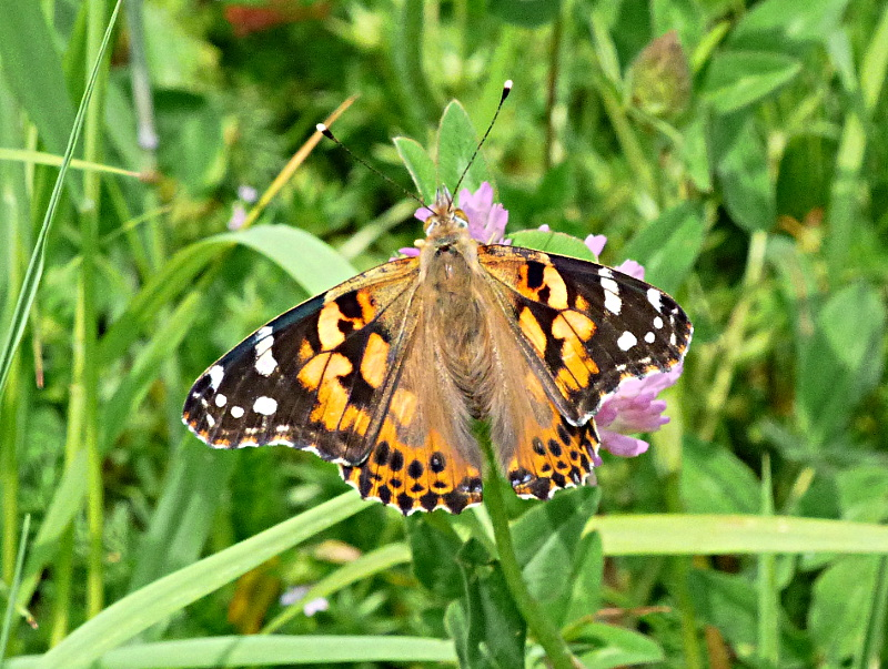 Painted Lady Stevenage 28 May 18