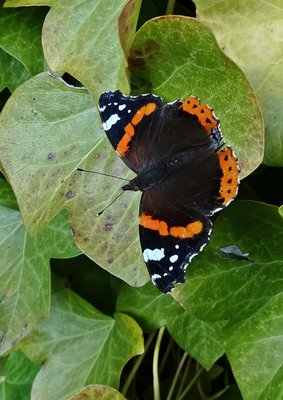 Red Admiral Stanwell Moor 13 Nov