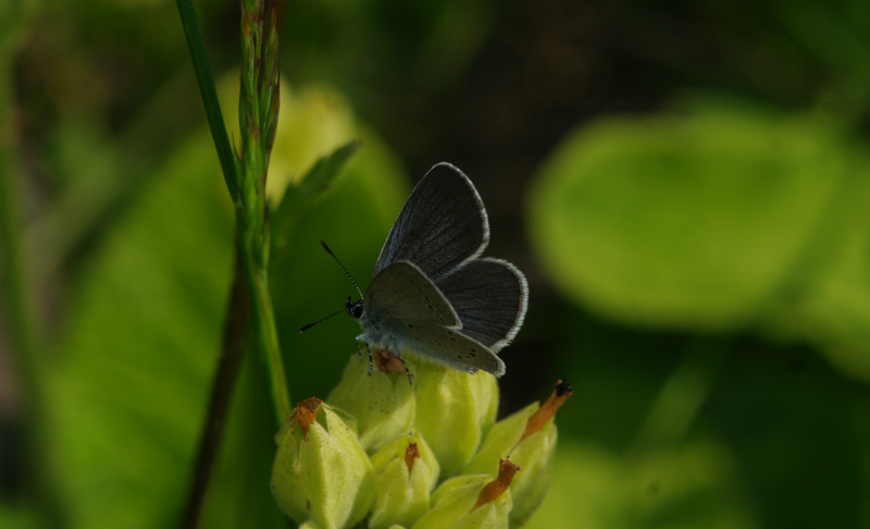 Small Blue Bourne End 20 May 18