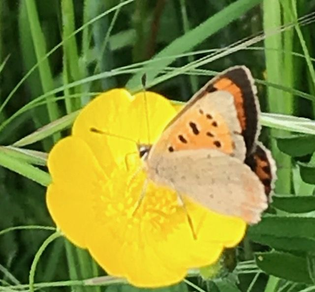 Small Copper Fishers Field 26 May 18