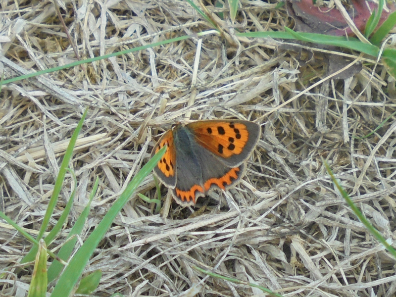 Small Copper Ickleford 24 Aug