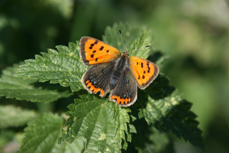 Small Copper Long Marston 29 Sep
