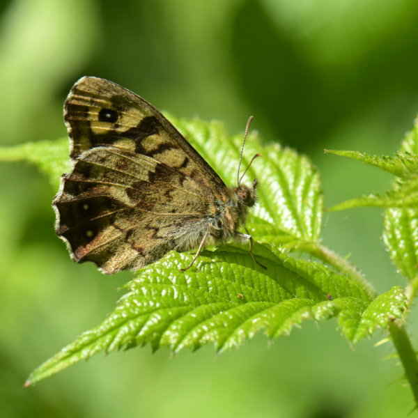 Speckled Wood Harpenden Common 15 May 18