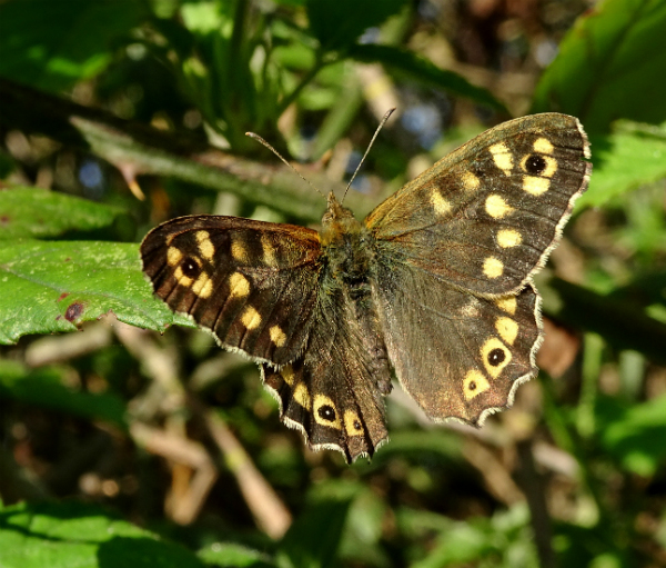 Speckled Wood Stanwell Moor 20 Apr 18