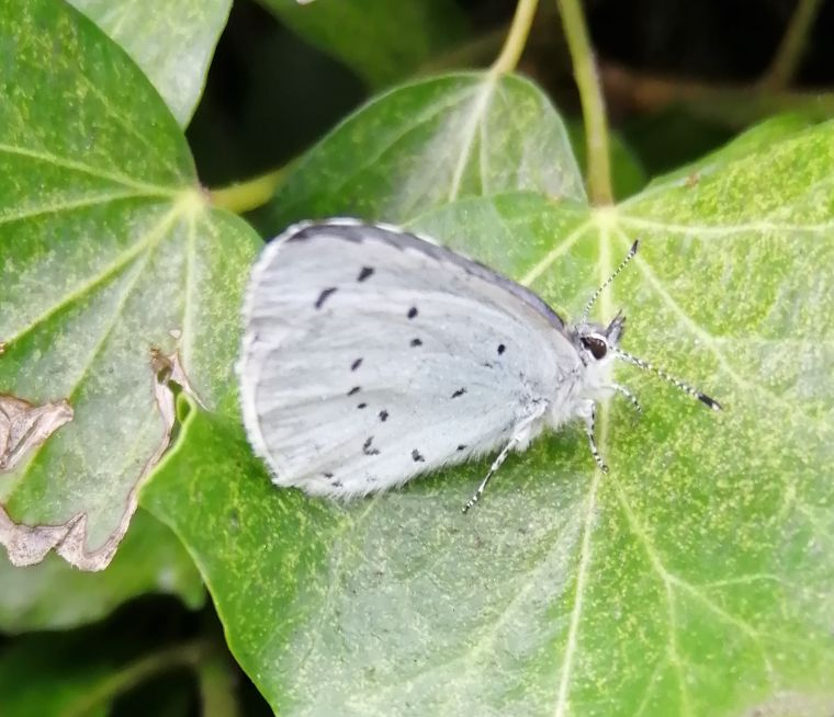 Holly Blue Bengeo 8 Jan