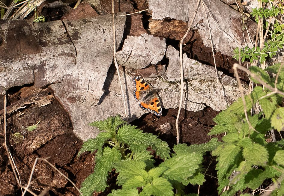 Small Tortoiseshell Tring 9 Jan