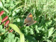 Brown Hairstreak 2001 - Nick Sampford