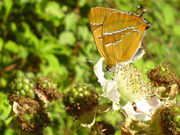 Brown Hairstreak 2007 - Darin Stanley