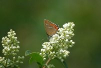 Black Hairstreak 2001 - Nick Sampford