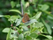 Black Hairstreak 2002 - Nick Sampford