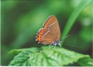 Black Hairstreak 2003 - Clive Burrows