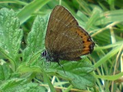 Black  Hairstreak 2010 - Darin Stanley