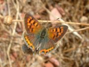 Small Copper 2006 - Trevor Chapman