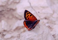 Small Copper 2004 - Clive Burrows