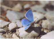 Adonis Blue 2003 - Clive Burrows