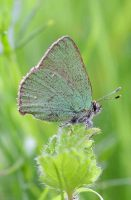 Green Hairstreak 2006 - Sandra Standbridge