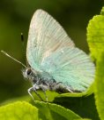 Green Hairstreak 2007 - Ian Hardy