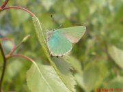 Green Hairstreak 2008 - Darin Stanley