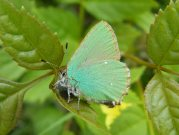 Green Hairstreak  2008 - Paul Thrush