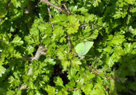 Green Hairstreak 2011 - David Gower