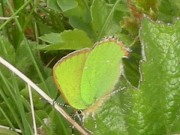 Green Hairstreak 2011 - Nigel Agar