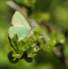 Green Hairstreak 2011 - Paul Why