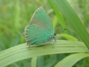 Green Hairstreak 2006 - Trevor Chapman