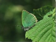 Green Hairstreak 2002 - John Stevens