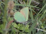 Green Hairstreak 2002 - Liz Goodyear