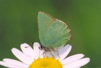 Green Hairstreak 2004 - Clive Burrows