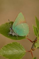 Green Hairstreak 2004 - Nick Sampford