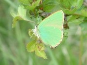 Green Hairstreak 2004 - Trevor Chapman