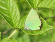 Green Hairstreak 2005 - Andrew Palmer