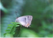 Purple Hairstreak 2001 - Andrew Middleton