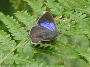 Purple Hairstreak 2004 - June Crew