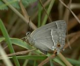 Purple Hairstreak 2005 - Paul Gee