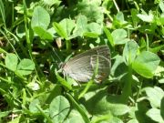 Purple Hairstreak 2006 - Chris Beach