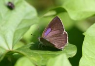 Purple Hairstreak 2006 - Glen Barnes