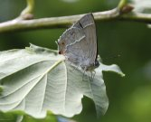 Purple Hairstreak 2007 - Bob Clift