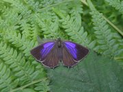 Purple Hairstreak 2007 - June Crew
