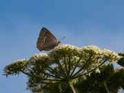 Purple Hairstreak 2010 - Elizabeth Debenham