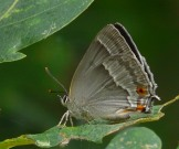 Purple Hairstreak 2010 - Ian Carle