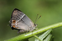 Purple Hairstreak 2010 - Sandra Standbridge
